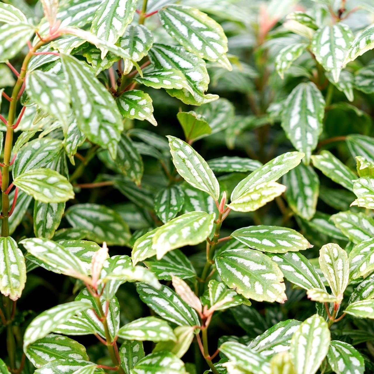 ピレア 観葉植物